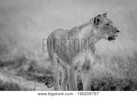 Side Profile Of A Lion In The Kalahari.
