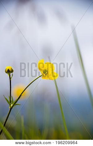 Beautiful yellow flower in a green grass., Plants in the wild nature