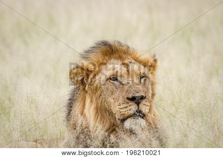 Close Up Of A Big Male Lion In The Grass.
