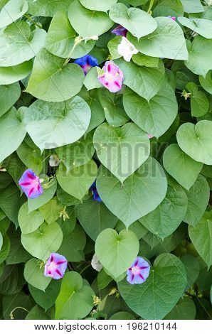 Background of colorful flowers Ipomoea closeup.Green leaf and purple flower of convolvulaceae plant.Many small flower on the green background