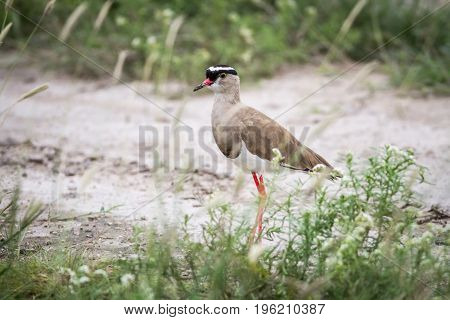 Crowned Lapwing Standing In The Sand.