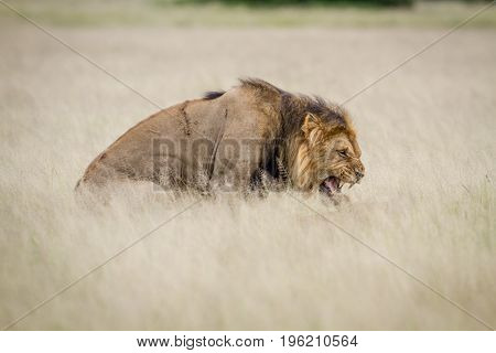 Male Lion Mating In The High Grass.
