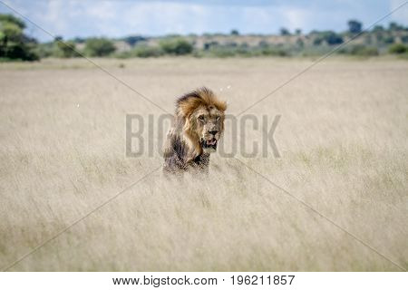 Big Male Lion Standing In The High Grass.