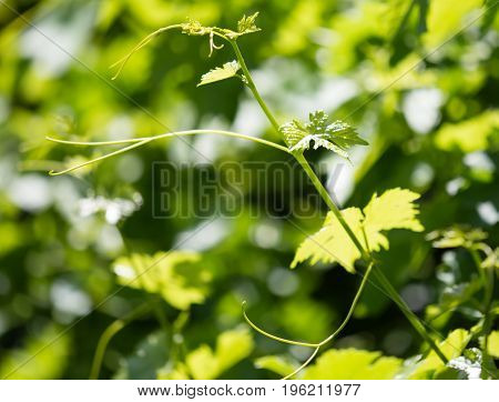 Mustache of grapes with green leaves in the open air .