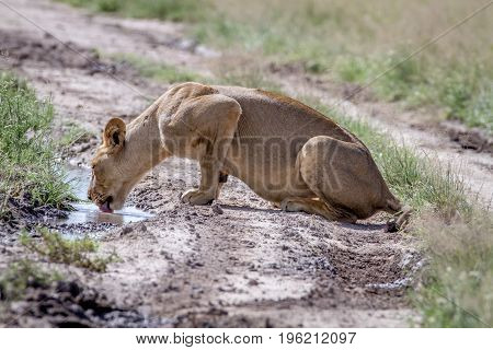 Lion Drinking From A Pool In The Road.