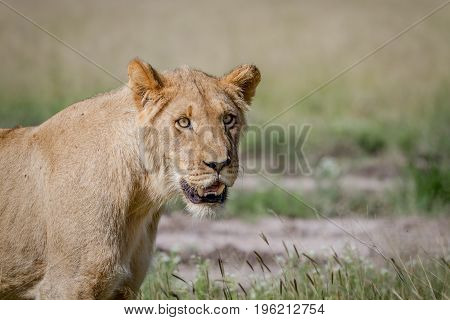 Young Male Lion Starring In The Kalahari.