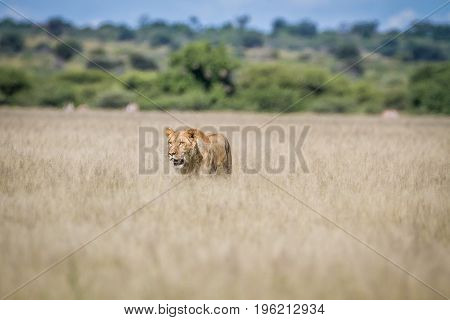 Lion Walking In The High Grass.