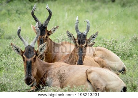 Group Of Red Hartebeest Laying Down In The Grass.