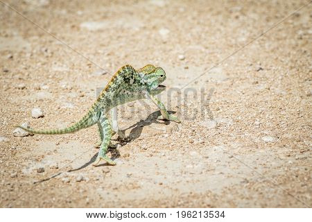 Flap-necked Chameleon Walking In The Gravel.