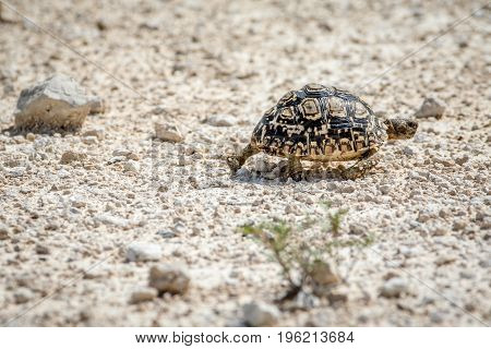 Leopard Tortoise Walking In The Gravel.