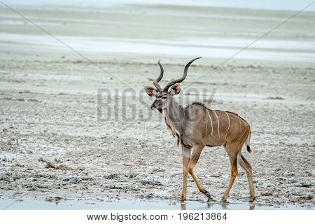 Male Kudu Standing At A Pool Of Water.