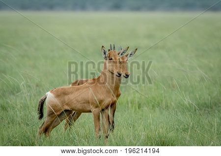 Red Hartebeest Calves Standing In The Grass.