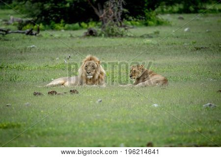 Mating Couple Of Lions Laying In The Grass.