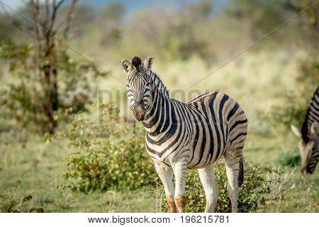 Zebra Starring At The Camera In Etosha.