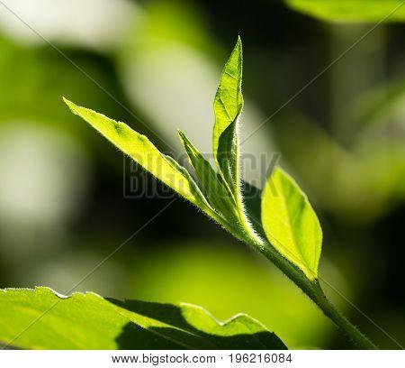 Green leaves on artichoke in the open air .