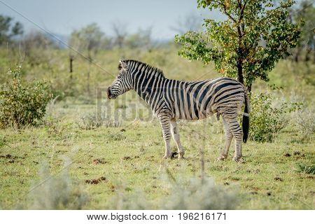 Side Profile Of A Zebra In Etosha.