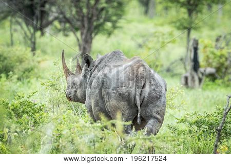 Black Rhino From Behind In The High Grass.