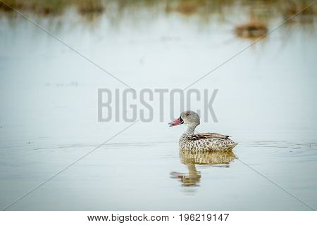 Cape Teal Swimming In A Pool Of Water.