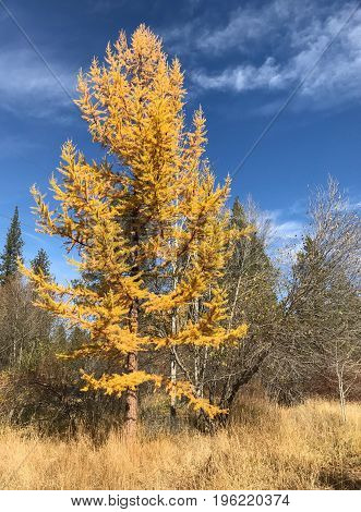 A beautiful Western Larch with the unique gold needles it develops in the fall contrasts against a rich blue sky in the Ochoco Forest in Central Oregon on a sunny day.