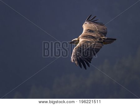 Griffon vulture flying upon the mountain, Drome provencale, France
