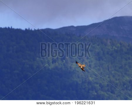 Common buzzard bird, buteo buteo, flying next to the fir trees, Geneva, Switzerland