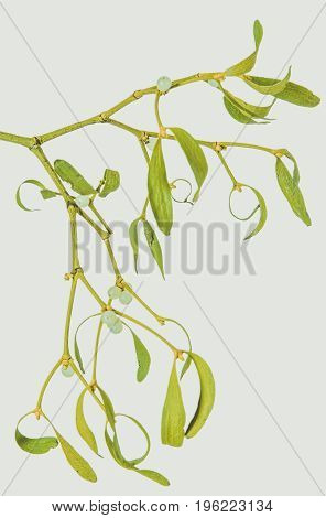 Green mistletoe isolated on white background. Christmas plant