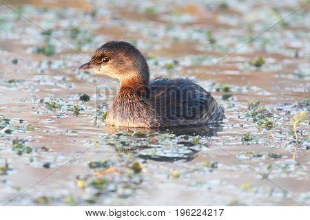 Pied-billed Grebe (Podilymbus podiceps) swimming in a lake