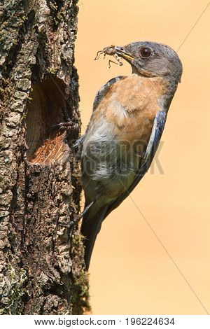 Female Eastern Bluebird (Sialia sialis) by a nest hole with an insect