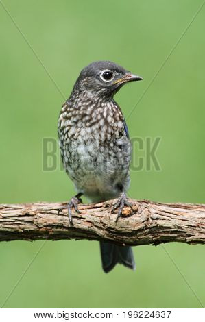 Baby Eastern Bluebird (Sialia sialis) on a perch with a green background