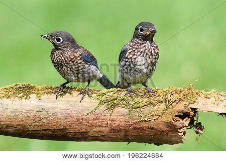 Baby Eastern Bluebird (Sialia sialis) on a log