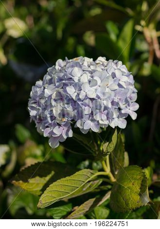 Beautiful Pale Violet Hydrangea flower at Doi Inthanon Thailand
