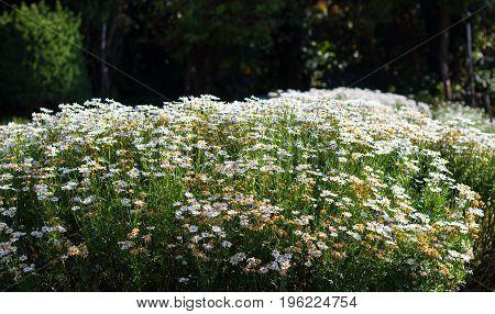 White daisy flowers at Doi Inthanon Thailand