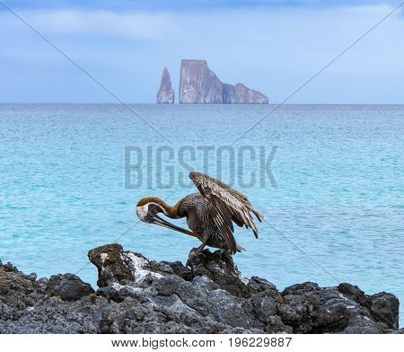 Leon Domidos or Kicker Rock group of three rocks in Galapagos Islands in distance with brown pelican preening itself in foreground.