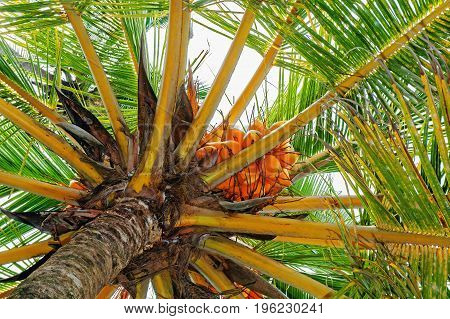 Coconut palm ripe fruits on a tree