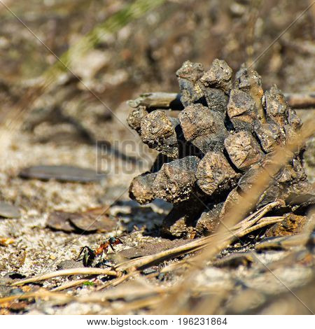 Macro image of a single ant climbing up the pine cone on the forest ground on a sunny summer day