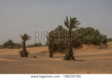 Palm Trees And Dune In Merzouga Village Near Sahara Erg Chebbi  Dune In Sand Storm. Morocco