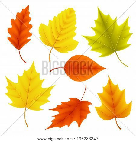 Autumn leaves vector set for fall seasonal elements with maple and oak leaf in colors isolated in white background. Vector illustration.