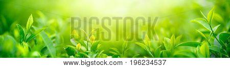 Fresh tea bud and leaves.Tea plantations.