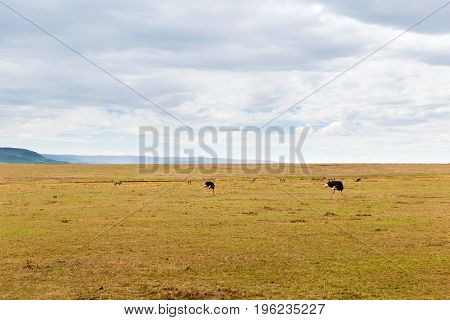 nature, landscape and wildlife concept - ostrich and other animals in maasai mara national reserve savannah at africa
