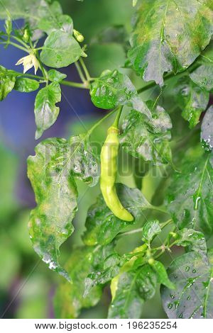 green chili on green leaf in the garden