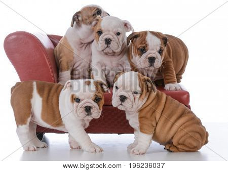 litter of five bulldog puppies on a red leather couch on white background