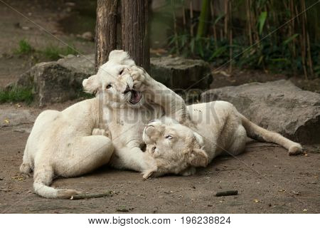 Two newborn white lion cubs. The white lions are a colour mutation of the Transvaal lion (Panthera leo krugeri), also known as the Southeast African or Kalahari lion.