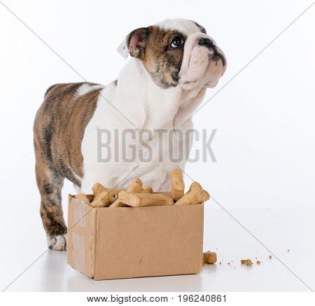 bulldog puppy with a cardboard box full of bones