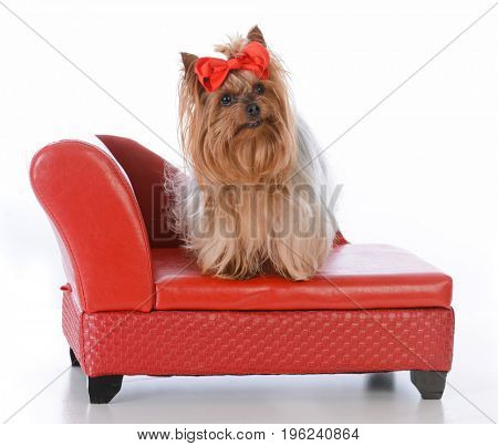 yorkshire terrier sitting on a red leather couch on white background