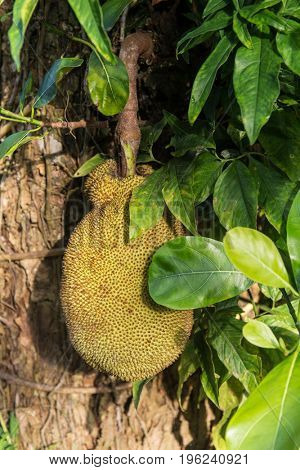 Jackfruit tree detail
