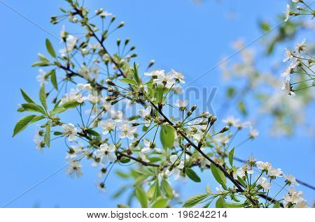 Cherry flowers Spring blossom on blue sky background.