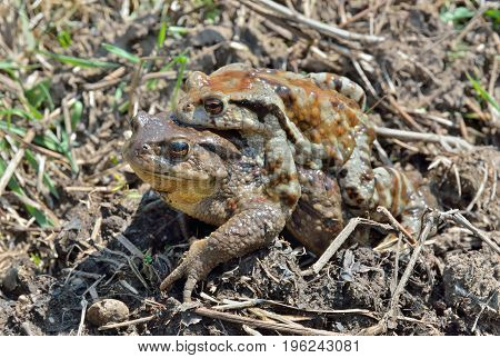 A close up of two toads (Bufo gargarizans) male and female.