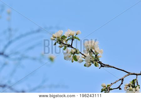 A branch of cherry blossoms. Spring young flowers.