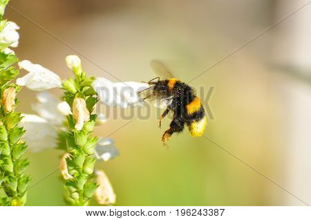 Bumble bee flies near to a wildflower. Bumble Bee feeding and pollinate flowers in garden