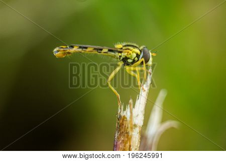 A small graceful fly sits on a small stalk and rests. Photo taken in the summer. View from the side close-up.